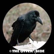 Large-billed Crow