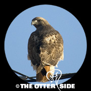 Red-tailed Hawk - Western