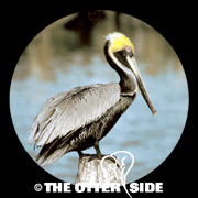 Brown Pelican - Atlantic