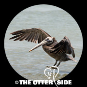 Brown Pelican - Gulf Coast