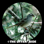 White-crowned Sparrow - Eastern