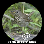 Gray-cheeked Thrush - Eastern