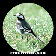 White Wagtail - Britain