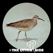 Whimbrel - North American