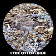Whimbrel - Asian