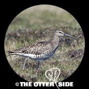 Whimbrel - European